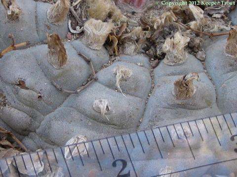 Lophophora-williamsii-echinata-Brewster-8986